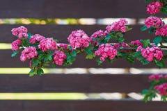 kwitnący głóg Obrazy Stock