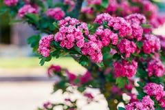 kwitnący głóg Zdjęcie Royalty Free