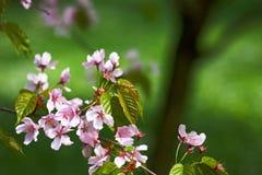 kwitnący gałęziasty Sakura Zdjęcia Stock