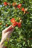Kwitnący granatowa drzewo Obrazy Stock