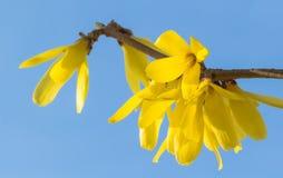 Kwitnący jaśmin Fotografia Stock