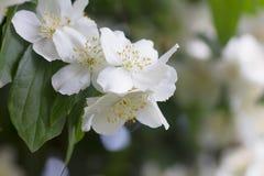Kwitnący jaśminowy krzak po deszczu obrazy stock
