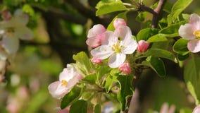 Kwitnący jabłczanego kwiatu zakończenie, w którym skrada się pluskwy zbiory