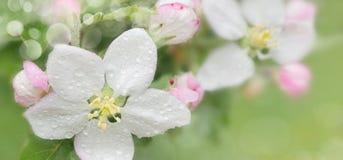 Kwitnący jabłka wiosna Zakończenie Zdjęcie Royalty Free