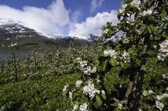 Kwitnący jabłko uprawia ogródek w Hardanger Zdjęcie Stock