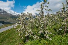 Kwitnący jabłoń ogród w Hardanger fjord Fotografia Stock