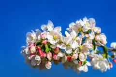 Kwitnący jabłoni gałąź zbliżenie Zdjęcie Stock