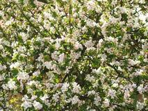Kwitnący jabłoni wiosny tło fotografia stock