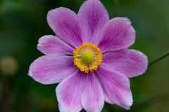 Kwitnący japoński anemonowy hupehensis, thimbleweed, wildflower zdjęcie royalty free