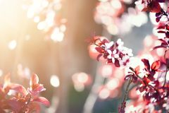 Kwitnący Japoński czereśniowy drzewo Okwitnięcia Sakura kwiaty Słonecznego dnia i wiosny natury tło 2 forsują pisklęca pojęcia Ea Zdjęcia Stock