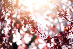 Kwitnący Japoński czereśniowy drzewo Okwitnięcia Sakura kwiaty Słonecznego dnia i wiosny natury tło 2 forsują pisklęca pojęcia Ea Obraz Royalty Free