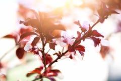 Kwitnący Japoński czereśniowy drzewo Okwitnięcia Sakura kwiaty Słonecznego dnia i wiosny natury tło 2 forsują pisklęca pojęcia Ea Obrazy Royalty Free