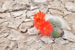 kwitnący kaktus obraz stock