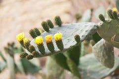 Kwitnący kaktus z prickles i kolorów żółtych kwiatami fotografia stock