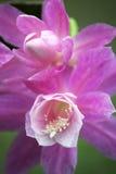 Kwitnący kaktus z różowymi kwiatami Obrazy Stock
