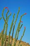 kwitnący kaktusowy ocotillo zdjęcie stock