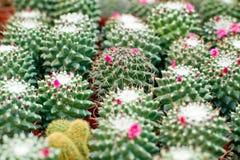 Kwitnący kaktusowy tło Zdjęcia Royalty Free