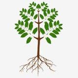 Kwitnący kawowy drzewo z kwiatami i korzeniami ilustracja wektor