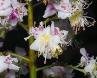 Kwitnący Koński kasztan, Aesculus hippocastanum, kwiaty wyszczególniający na ciemnym tła zakończeniu obraz stock