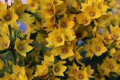 Kwitnący kolor żółty kwitnie w ogródzie Fotografia Stock