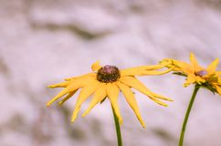 Kwitnący kolor żółty kwitnie z czerni centrum Fotografia Stock