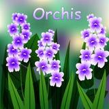Kwitnący kwiat Militarny storczykowy rośliien purpur okwitnięcie Zdjęcie Royalty Free