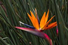 Kwitnący kwiat Strelitzia reginae Długa pomarańcze Strelizia wyspa kanaryjska ptasi raj Tenerife Zdjęcia Royalty Free