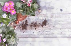 Kwitnący kwiatu garnek, żarówki i zdjęcie stock