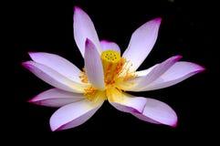 kwitnący kwiatu lotosu wzór fotografia stock