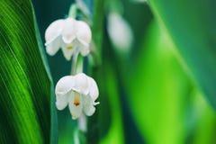 Kwitnący kwiaty leluja dolina w wczesnym poranku makro- outdoors obraz royalty free