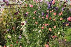 Kwitnący Lathyrus w chałupa ogródzie w Anglia w lecie zdjęcia royalty free