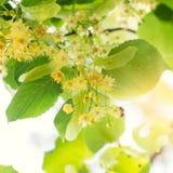 Kwitnący lipowy, wapna drzewo w kwiacie z pszczołami Obraz Stock