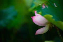 Kwitnący lotos fotografia stock