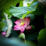 Kwitnący lotos flowers3 obraz royalty free