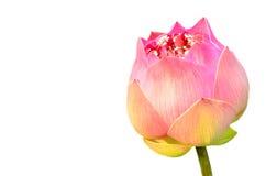 Kwitnący lotos na białym tle Zdjęcie Royalty Free