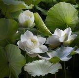 Kwitnący lotosowi kwiaty są naprzemianległymi zielonymi liśćmi zdjęcie royalty free
