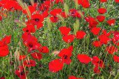 Kwitnący maczki na naturalnego tła trawie Fotografia Royalty Free