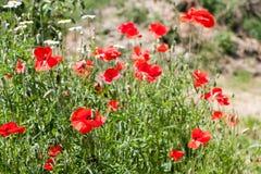 Kwitnący maczki w lata polu jako tło Obraz Royalty Free