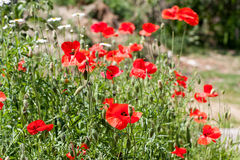 Kwitnący maczki w lata polu jako tło Zdjęcia Stock
