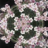 Kwitnący mandala ilustracji