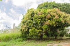 Kwitnący Mangowy drzewo zdjęcie royalty free