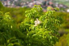 Kwitnący Manna popióły Zdjęcie Stock