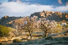 Kwitnący migdał w Tafraout, Maroko Zdjęcie Royalty Free