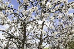 Kwitnący migdałowy drzewo przy wiosną Zdjęcia Stock