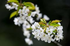 Kwitnący mirabelki Kwiatonośna mirabelki śliwka rozgałęzia się w wiośnie Zdjęcie Stock