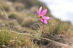 Kwitnący montażu kwiat, dogtooth fiołek fotografia royalty free