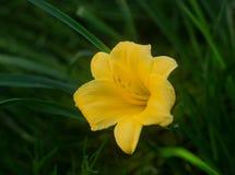 Kwitnący niezwykli żółci mini daylilies, r na domu kwiatu łóżku obraz royalty free
