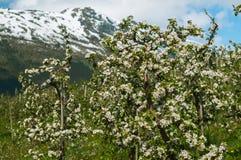 Kwitnący ogród jabłonie Zdjęcie Royalty Free