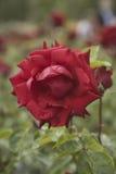 Kwitnący ogród różany Obraz Stock