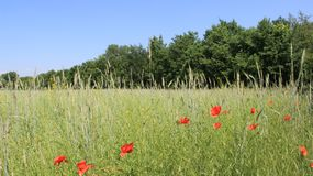 Kwitnący opia Z Pszenicznego pola I potomstwo musztardy strąkami obraz royalty free
